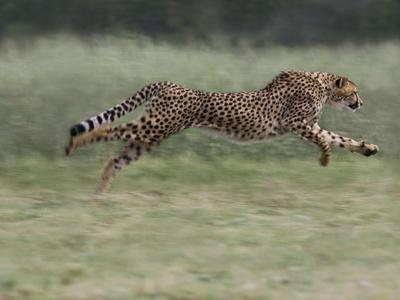 Cheetah (Acinonyx Jubatus) Running, Cheetah Conservation Fund, Otijwarongo, Namibia,