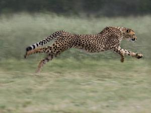 Cheetah (Acinonyx Jubatus) Running, Cheetah Conservation Fund, Otijwarongo, Namibia, by Suzi Eszterhas/Minden Pictures