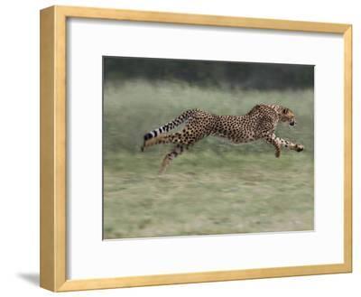 Cheetah (Acinonyx Jubatus) Running, Cheetah Conservation Fund, Otijwarongo, Namibia,