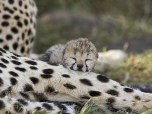 Cheetah (Acinonyx Jubatus) Six Day Old Cubs Resting on Mother's Leg, Maasai Mara Reserve, Kenya by Suzi Eszterhas/Minden Pictures