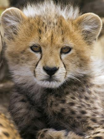 Cheetah (Acinonyx Jubatus) Ten to Twelve Week Old Cub Portrait, Maasai Mara Reserve, Kenya by Suzi Eszterhas/Minden Pictures
