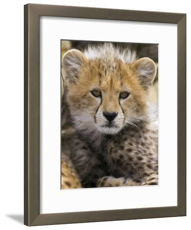 Cheetah (Acinonyx Jubatus) Ten to Twelve Week Old Cub Portrait, Maasai Mara Reserve, Kenya