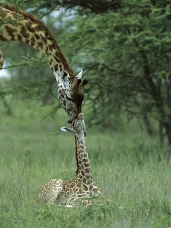 Giraffe (Giraffa Camelopardalis) Newborn Calf and Mother, Ngorongoro Conservation Area, Tanzania by Suzi Eszterhas/Minden Pictures