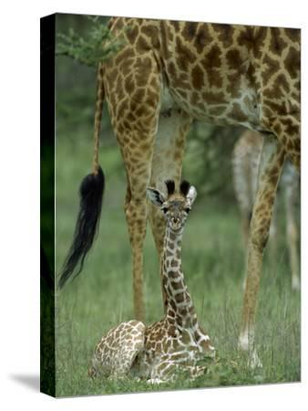 Giraffe (Giraffa Camelopardalis) Newborn Calf, Ngorongoro Conservation Area, Tanzania