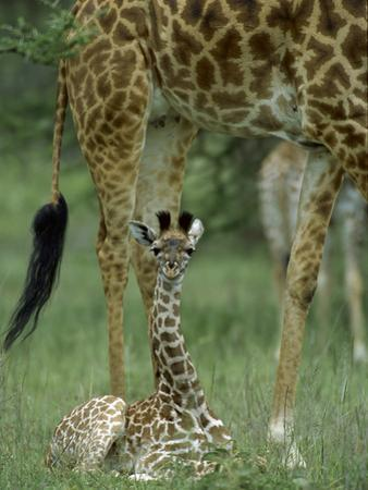 Giraffe (Giraffa Camelopardalis) Newborn Calf, Ngorongoro Conservation Area, Tanzania by Suzi Eszterhas/Minden Pictures