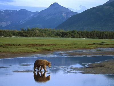 Grizzly Bear (Ursus Arctos Horribilis) Crossing River, Katmai Nat'l Park, Alaska