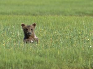 Grizzly Bear (Ursus Arctos Horribilis) Cub in Sedge Grass, Katmai Nat'l Park, Alaska by Suzi Eszterhas/Minden Pictures