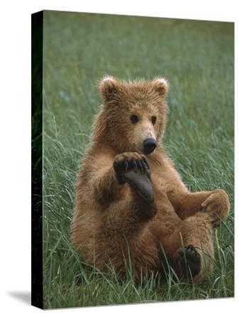 Grizzly Bear (Ursus Arctos Horribilis) Cub Playing, Katmai Nat'l Park, Alaska by Suzi Eszterhas/Minden Pictures