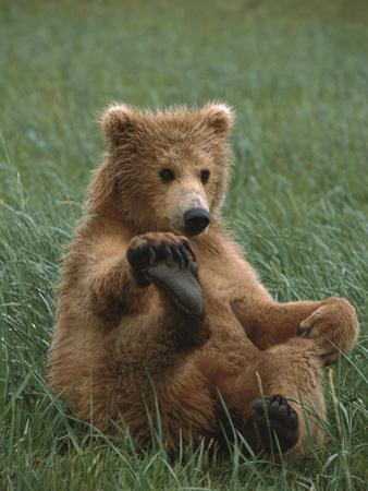 Grizzly Bear (Ursus Arctos Horribilis) Cub Playing, Katmai Nat'l Park, Alaska by Suzi Eszterhas/Minden Pictures