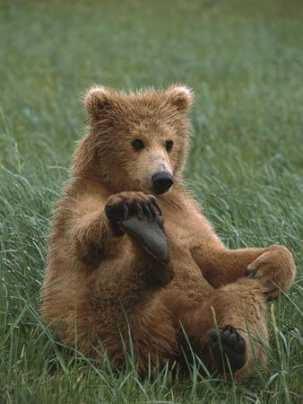 Grizzly Bear (Ursus Arctos Horribilis) Cub Playing, Katmai Nat'l Park, Alaska