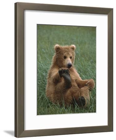 Grizzly Bear (Ursus Arctos Horribilis) Cub Playing, Katmai Nat'l Park, Alaska