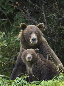 Grizzly Bear (Ursus Arctos Horribilis) Mother and 6 to 8 Month Old Cub, Katmai Nat'l Park, Alaska by Suzi Eszterhas/Minden Pictures