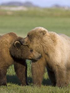 Grizzly Bear (Ursus Arctos Horribilis) Pair Courting, Katmai Nat'l Park, Alaska by Suzi Eszterhas/Minden Pictures