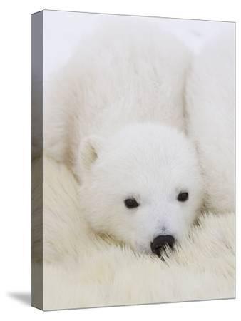 Polar Bear (Ursus Maritimus) Cubs on Top of their Mother, Wapusk Nat'l Park, Manitoba, Canada