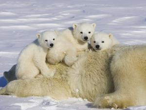 Polar Bear (Ursus Maritimus) Cubs on Top of their Mother, Wapusk Nat'l Park, Manitoba, Canada by Suzi Eszterhas/Minden Pictures