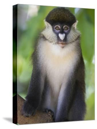 Red-Tail Monkey (Cercopithecus Ascanius) Kichwa Tembo Forest, Masai Mara, Kenya