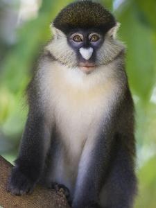 Red-Tail Monkey (Cercopithecus Ascanius) Kichwa Tembo Forest, Masai Mara, Kenya by Suzi Eszterhas/Minden Pictures