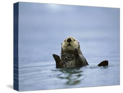 Sea Otter (Enhydra Lutris), Prince William Sound, Alaska