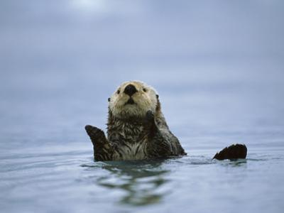 Sea Otter (Enhydra Lutris), Prince William Sound, Alaska by Suzi Eszterhas/Minden Pictures