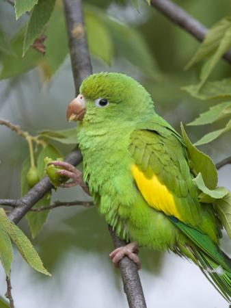 Yellow-Chevroned Parakeet (Brotogeris Chiriri), Pantanal, Brazil by Suzi Eszterhas/Minden Pictures