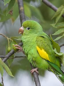 Yellow-Chevroned Parakeet (Brotogeris Chiriri), Pantanal, Brazil by Suzi Eszterhas/Minden Pictures