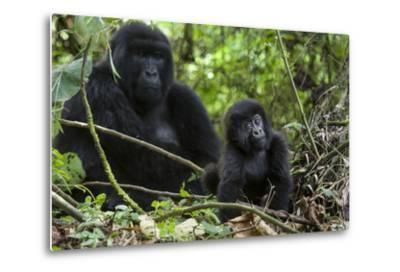 Mountain Gorilla (Gorilla Gorilla Beringei) Baby Age One Year Exploring