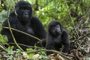 Mountain Gorilla (Gorilla Gorilla Beringei) Baby Age One Year Exploring by Suzi Eszterhas