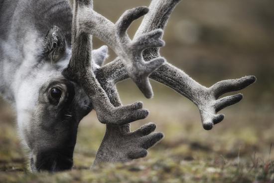 Svalbard Reindeer Antlers In Velvet-Ole Jorgen Liodden-Photographic Print