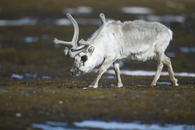 Svalbard Reindeer on the Tundra-DLILLC-Photographic Print