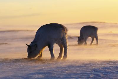 Svalbard Reindeer-Espen Bergersen-Photographic Print