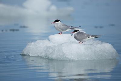 Svalbard, Spitsbergen, Liefdefjorden, Monacobreen. Pair of Arctic Tern Birds-Aliscia Young-Photographic Print
