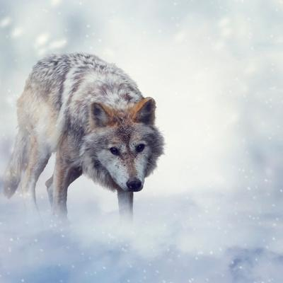 Gray Wolf Walking on the Snow