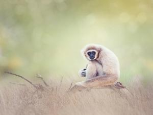 Portrait of White-Handed Gibbon(Hylobates Lar) Sitting on a Branch by Svetlana Foote