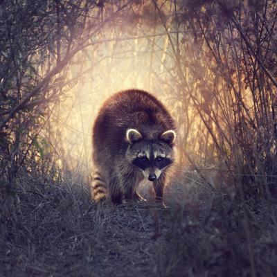 Wild Raccoon in Florida Wetlands at Sunset