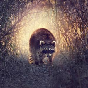 Wild Raccoon in Florida Wetlands at Sunset by Svetlana Foote