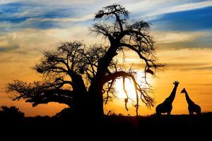 Spectacular Sunset with Baobab and Giraffe on African Savannah by SW_Stock