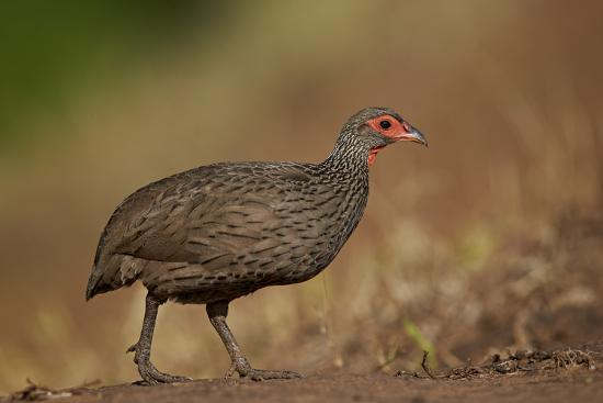 Swainson's Francolin (Swainson's Spurfowl) (Pternistes Swainsonii), Kruger National Park, Africa-James Hager-Photographic Print