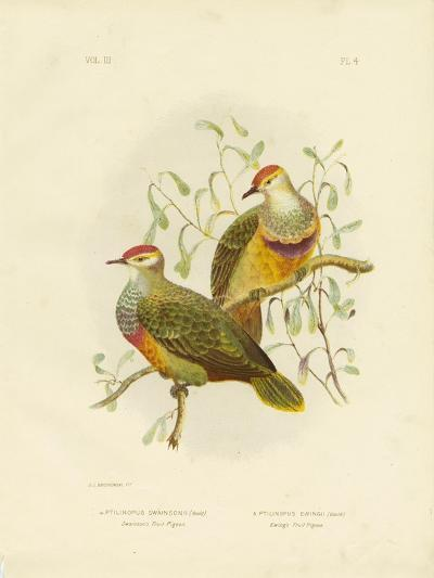 Swainson's Fruit Pigeon, 1891-Gracius Broinowski-Giclee Print