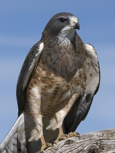 Swainson's Hawk (Buteo Swainsonii), San Juan Mountains, New Mexico-Tom Walker-Photographic Print