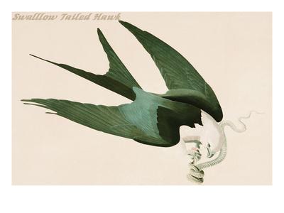 https://imgc.artprintimages.com/img/print/swalllow-tailed-hawk_u-l-pgftj60.jpg?p=0