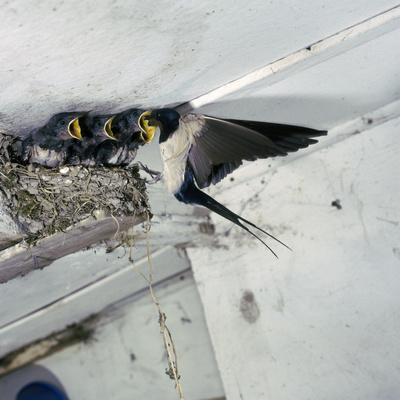 https://imgc.artprintimages.com/img/print/swallow-in-flight-at-the-nest_u-l-q10m31t0.jpg?p=0