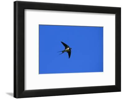 Swallow in Flight, Pembrokeshire, UK-Elliot Neep-Framed Photographic Print