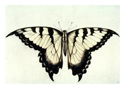 Swallow-Tail Butterfly-John White-Giclee Print