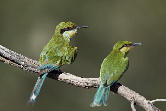 Swallow-tailed bee-eater (Merops hirundineus) adult and juvenile, Kgalagadi Transfrontier Park, Sou-James Hager-Photographic Print