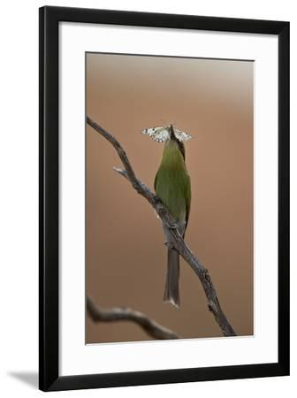 Swallow-Tailed Bee-Eater (Merops Hirundineus)-James Hager-Framed Photographic Print