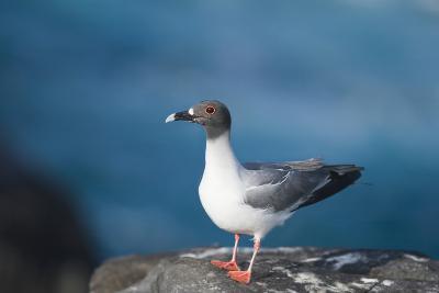 Swallow-Tailed Gull-DLILLC-Photographic Print