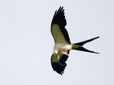 Swallow-Tailed Kite Flying with Lizard Prey in its Bill and Talons (Elanoides Forficatus)-John Cornell-Photographic Print