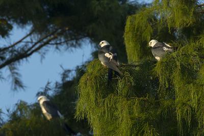 Swallow-Tailed Kites Roosting, Lake Woodruff NWR, Florida-Maresa Pryor-Photographic Print