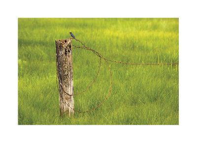 Swallow-Donald Paulson-Giclee Print