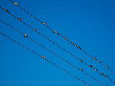 Swallows in Autumn Prior to Migration, Fethard, County Tipperary, Ireland--Photographic Print